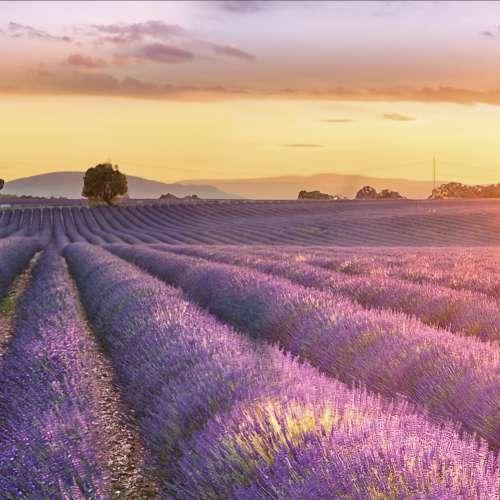 Küchenrückwand Lavendelfeld