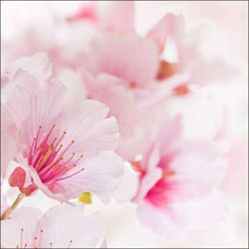 Küchenrückwand Kirschblüten