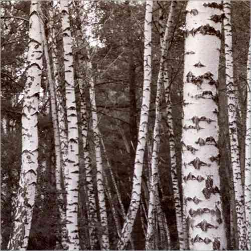 Küchenrückwand Birkenwald