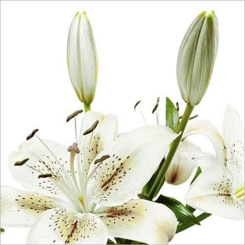 Küchenrückwand Weiße Lilien