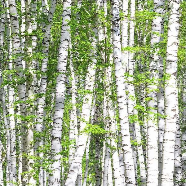 Küchenrückwand Birkenwald 02