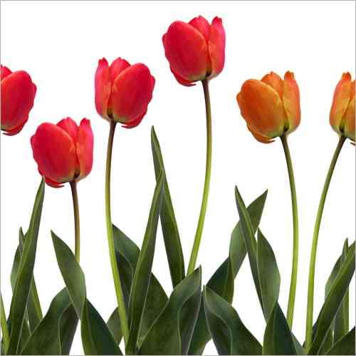 Spritzschutz kuche tulpen - Fototapete fur kuchenruckwand ...